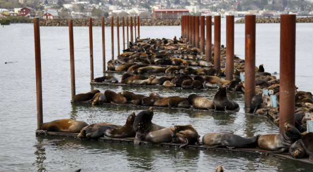 A record 2,250 sea lions, mostly pups, have washed up starving and stranded on Southern California beaches so far this year, a worsening phenomenon blamed on warming seas in the region that have disrupted the marine mammals' food supply.
