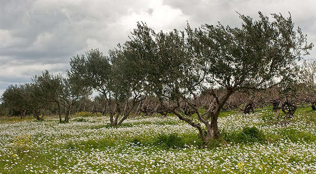The Olive Tree The Relationship Of Jew And Gentile