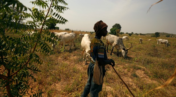 A Fulani shepherd stands at the boundary of a farm watching over grazing cattle in Paiko, Niger State, Nigeria.