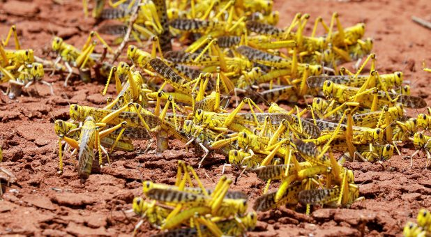 Locust Plague Spreads Far Beyond Africa as It Pushes Into ...